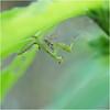 Mantis (b. inxee♪♫) Tags: insect macro mantis