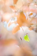 Zitronenfalter II (MichaSauer) Tags: gonepteryx rhamni zitronenfalter common brimstone citron citroenvlinder schmetterling butterfly papillon falter tagfalter nationalpark wald forest foret hibernation überwinterung januar winter makro macro bokeh pastell