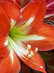 Lily Close-up (Roniyo888) Tags: bright orange red vibrant lily closeup bulb pistil