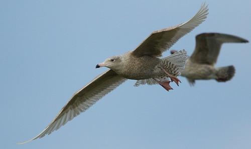 Glaucous Gull 17-1-17 Thetford_F8A3626