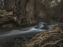 Rushing through the Woods. (keith_shuley) Tags: boerne texas city park cypress grove water stream creek olympus landscape