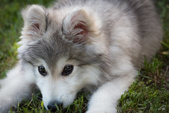 Puppy Face (glank27) Tags: puppy k9 dog malamute alaskan animal wildlife canon eos 70d ef 70300mm f456l karl glanville cute face eyes look
