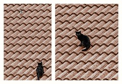 The little bird is fast enough to save his life (s1nano) Tags: diptych cat bird animal roof nikond7000 tamronsp70300mm1456vcusd
