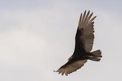 Zopilote aura / Turkey Vulture (Cathartes aura) (elrayman210) Tags: zopiloteaura turkeyvulture cathartesaura auracabecirroja auracomún zopilote caronero carroñero