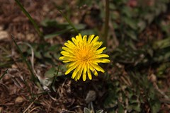 Dandelion (mensore) Tags: タンポポ dandeliontaraxacum キク科 asteraceae タンポポ属 taraxacum flower plant 黃 yellow spring 春