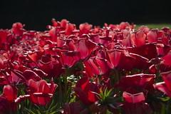 _DSC0734 (Riccardo Q.) Tags: parcosegurtàtulipani places parco altreparolechiave fiori tulipani segurtà