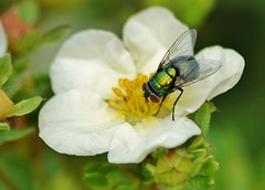 Quick snack (dlanor smada) Tags: insects flies potentilla
