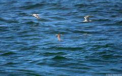 Black Tern (Chlidonias niger) in flight - 142 individuals tallied (Steve Arena) Tags: flying inflight nikon provincetown massachusetts flight d750 tern racepoint blacktern chlidoniasniger marshtern barnstablecounty blte flightshot