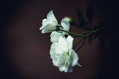 Oh why can I not conquer love? (Icedavis) Tags: white minnesota rose dark landscape heart bokeh arboretum mn sia elastic bokey jaredshot