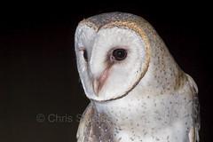 Eastern Barn Owl (chrissteeles) Tags: bird nocturnal birding raptor sa southaustralia barnowl birdofprey freeling easternbarnowl