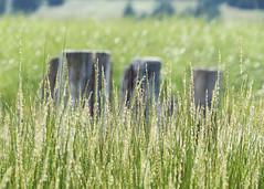 Beach Grass (nikagnew) Tags: sun sunshine coast warm novascotia bokeh sunny grasses posts