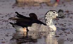 Knob-billed Duck (Sarkidiornis melanotos) (Ian N. White) Tags: botswana combduck sarkidiornismelanotos knobbilledduck mogobanedam