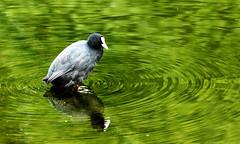 Coot (ForumPhotos) Tags: bird paddle coot