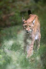 Lynx (Cloudtail the Snow Leopard) Tags: wildpark alte fasanerie hanau klein auenheim tier animal mammal säugetier katze cat feline luchs lynx nordluchs eurasischer cloudtailthesnowleopard