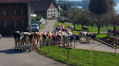 20151009_160128 (Pierre Schwaller (lyoba.ch)) Tags: suisse tradition agriculture gruyère troupeau lacdelagruyère kolly schwaller lyoba pontlaville pierreschwaller lyobach