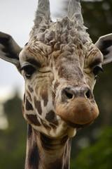 Giraffa camelopardalis DT [NZ Auckland Zoo] (5) (Archivo Murcilago Blanco) Tags: africa fauna auckland mammals mammalia aucklandzoo nuevazelanda ungulates giraf jirafa giraff mamifero artiodactyla giraffidae oceana cetartiodactyla ungulado ungulados tirira diegotirira archivomurcielagoblanco