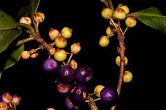 Myrsine variabilis (andreas lambrianides) Tags: nsw qld primulaceae australianflora australiannativeplants myrsine rainforestplants arfp australianrainforests australianrainforestplants nswrfp qrfp arffs myrsinevariabilis muttonwood brushmuttonwood rapaneavariabilis australianrainforestflowers greenarffs purplearffs monsoonarf tropicalarf littoralarf subtropicalarf dryarf vinethicketarf cyrfp