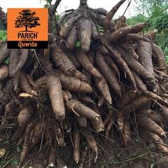 มันสำปะหลังใหญ่ๆ Big cassava
