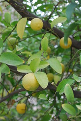 Citrus Tree - Neighborhood Betwee 2nd & 3rd Circles - Amman (2) (jrozwado) Tags: tree fruit asia amman jordan citrus الأردنّ عمّان jebelamman جبلعمان