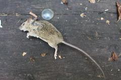 My breakfast (My cat knows the fridge's empty) (mc1984) Tags: breakfast rat mc1984