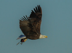 The Los Osos , California Bald Eagle with a Morning Coot Meal (Atascaderocoachsam) Tags: ngc baldeagle birdwatcher baldeaglewithameal