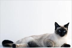 Sony A77 & Sony 70-200 2.8 SSM G (Nelix) Tags: cat chat siamois europen sony7020028ssmg sonya77 sony70200mmf28gseriestelephotozoomlens sonya777020028ssmg