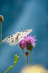 Papillons 4 (Maxime Bonzi) Tags: photo france queyras flowers flower image arvieux hautes fleur montagne butterfly papillon pics alpes vallée verdoyant herbe fleurs herbes