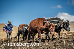 Oxen pulling a plow with their keeper in Somenkong, Lesotho, Africa (Remsberg Photos) Tags: africa travel usa outdoors cow cattle farming bluesky wanderlust adventure explore plow agriculture oxen hardwork lesotho horned domesticanimal