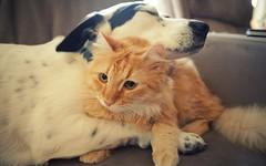 KED VE KPEK DOSTLUU (thehayvan) Tags: dog love cat like kedi sevgi hayvan ilgin canl kedigiller