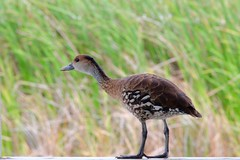 West Indian (Simone Scott) Tags: bird pond wetland caymanbrac westindianwhistlingduck simonescott