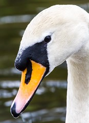 Feeding time visitor! (Peter J. Ham.) Tags: swan bird nature grace depthoffield natural long neck white light spring