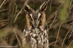 Boxing Day owl (rdroniuk) Tags: birds raptors birdsofprey owls longeared owl asiootus oiseau rapaces oiseauxdeproie hiboumoyenduc