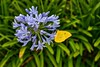 (Marina Lorenzetto) Tags: ngc nikon nikond600 d600 yellow butterfly borboleta nature natureza flower