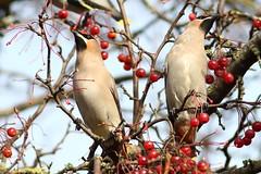 Berry The Hatchet (Ger Bosma) Tags: 2mg201039 pestvogel bombycillagarrulus waxwing bohemianwaxwing seidenschwanz jaseurboral beccofrusone ampeliseuropeo tagarelaeuropeu  jemiouszka waxwings two pair tree berries eating