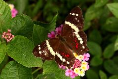 Anartia fatima (zimbart) Tags: costarica centralamerica specinsect ranarojalodge tortuguero fauna arthropoda lepidoptera butterflies nymphalidae nymphalinae anartia anartiafatima