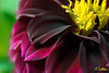DhaliaRed1.jpg (raysul) Tags: flower macro flowerphotography floralart closeup depthoffield decorative beautyinmacro