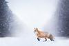 Blizzard (Alicja Zmysłowska) Tags: snow winter fox red redfox snowing