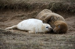 2012.12.09 - Seal Pup @ Donna Nook (D.R.Williams) Tags: donnanook seal lincolnshire