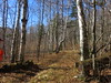 In The Forest At the Merck Center (amyboemig) Tags: ham hike hiking hikeamonth november fall merck farm forest center rupert path birches
