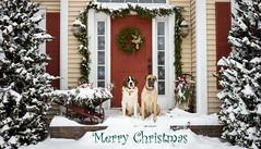 Merry Christmas (John Clay173) Tags: englishmastiff newengland saintbernard dog connecticut winter jclay snow