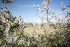 Blossoms on a pear tree in Spring (JFJacobszPhotography) Tags: agricultural agriculture beginning blossoms blue branches farm flowers food fresh fruit green land leaves live lush new pear pink plantation sky spring trees white