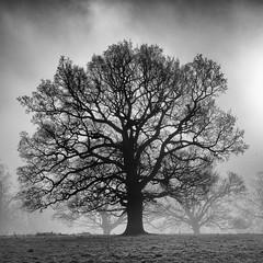 Oak in the mist (marrow62) Tags: tree blackandwhite monotone mist winter derby night dusk uk derbyshire england oak