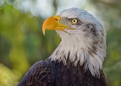 Bald Eagle (marypink) Tags: baldeagle lanzarote canaryislands canarie closeup eye beak predator nikond7200 70300mmf456 rapace
