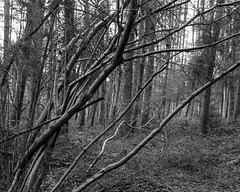 Tree before trees (The Lower Guards Wood) (Jonathan Carr) Tags: tree trees abstract abstraction landscape rural northeast bw black white monochrome toyo45a largeformat 4x5 5x4