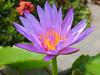 Violet Lotus Flower (hastuwi) Tags: trowulan jawatimur indonesia idn eastjava kraton