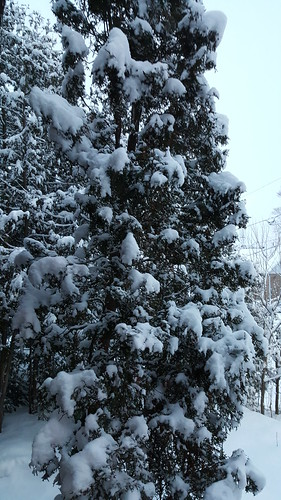 Snow covered cedar