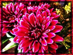 Winter macro. (Kindle Girl) Tags: iphone iphone365 iphonemacro macro olloclip olloclipmacro flower pink winter homeatlast takoma washingtondc