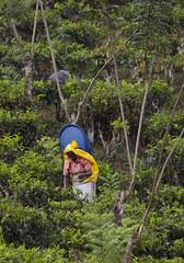 Tea picker on hill (David Rosen Photography) Tags: teapickers teafactory asia srilanka culture portrait travel