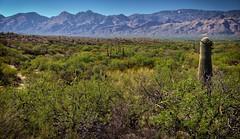 A Wide Open Expanse To Take In (Saguaro National Park) (thor_mark ) Tags: nikond800e saguaronationalpark saguaronationalparkrinconmountaindistricteast lookingnorth day1 capturenx2edited colorefexpro desert desertlandscape sonorandesert saguaro cactus carnegieagigantea saguarocactus outside landscape nature sunny blueskies cactusacrossdesertlandscape mountains mountainsindistance mountainsoffindistance desertplantlife intermountainwest southwestbasinsandranges southeastarizonaranges huachucaarea santacatalinamountains blackettsridge rattlesnakepeak cactusforestscenicloopdrive cactusforestdrive arborescenttreelikecactus project365 portfolio arizona unitedstates