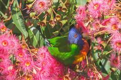 Rainbow Lorikeet (S♡C) Tags: parrot lorikeet rainbowlorikeet australian native gumflower flowers wild
